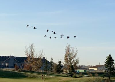 Going North with Canada Geese